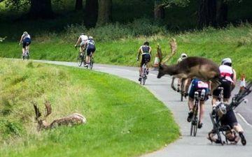 爱尔兰三项赛 迷途野鹿撞伤骑行车手